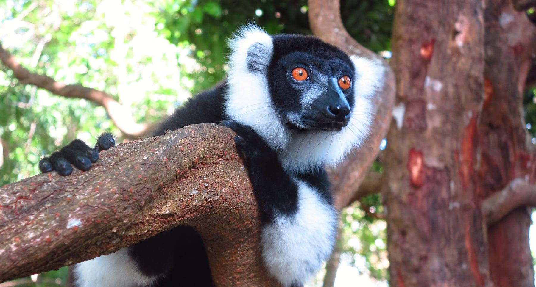 Lemur mit orangefarbenen Augen und schwarz-weißem Fell