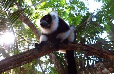 Schwarz-weißer Lemur im Baum