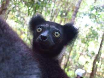 Lemur mit Glubschaugen