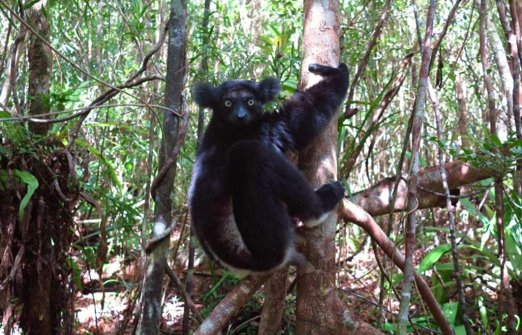 Lemur mit Puschelohren