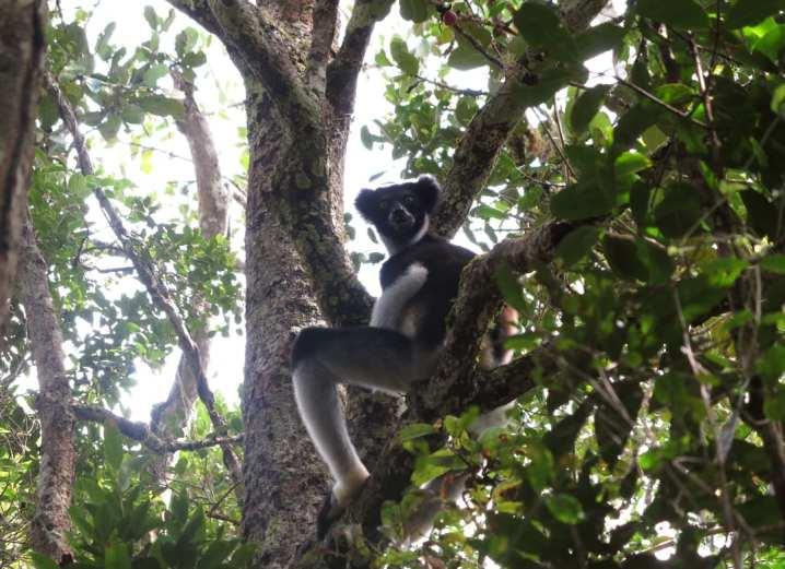 Lemur auf dem Baum