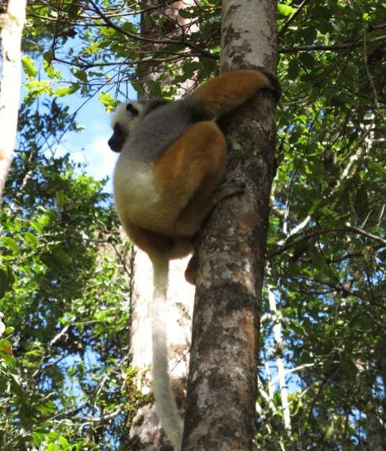 Lemur auf einem Baum