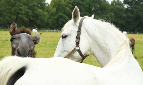 Weißes Pferd mit braunem Fohlen
