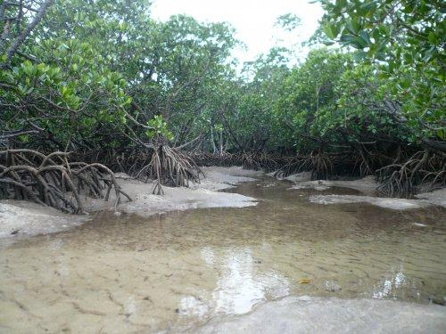 吹通川河口のマングローブ林