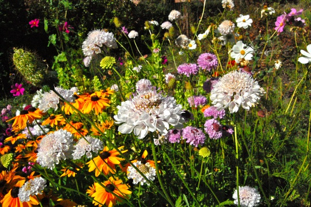 What Are The Best Annual Flowers For Attracting Bees Butterflies Higgledy Garden