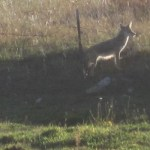 Coyotes Howling at Dusk Near Truchas, NM