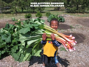 Young boy with armfull of giant Victoria rhubarb