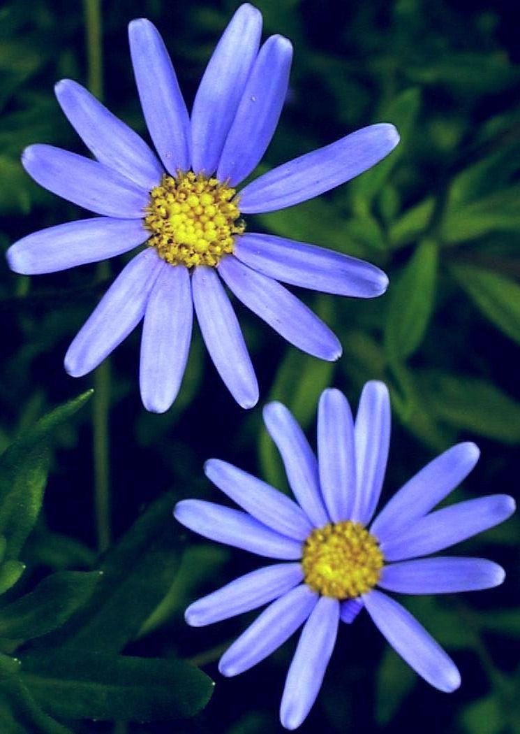 Felicia Amelloides Blue Daisy Highbury Wildlife