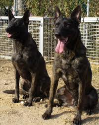 Our Dutch Shepherds
