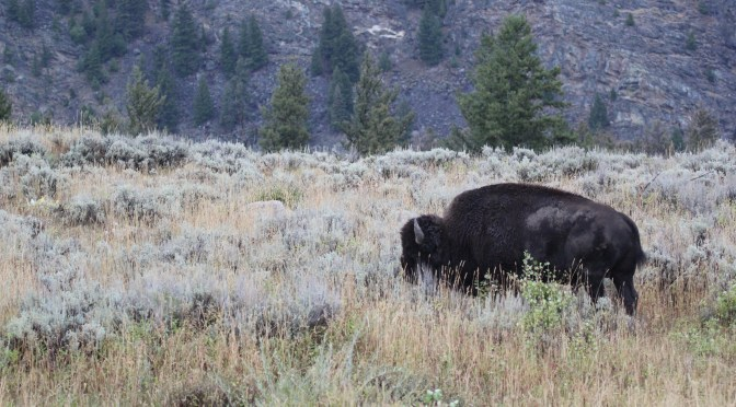 Bison on The Mountain
