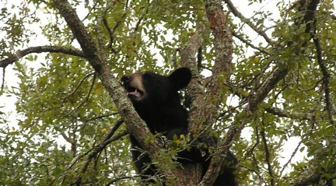 Journey Of A Wayward Black Bear