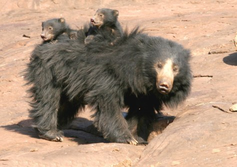 sloth bear with babies