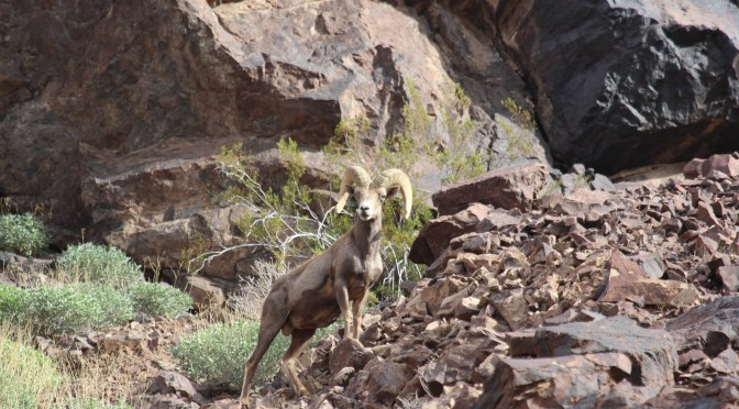 Social Distancing Can Save Wild Sheep