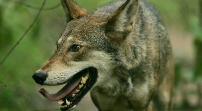 Red Wolf Shot-Or Not? A Look Into The Archives