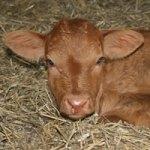 calf children and twin friendly farm holidays cornwall