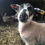orphan lamb children friendly farm holidays cornwall uk