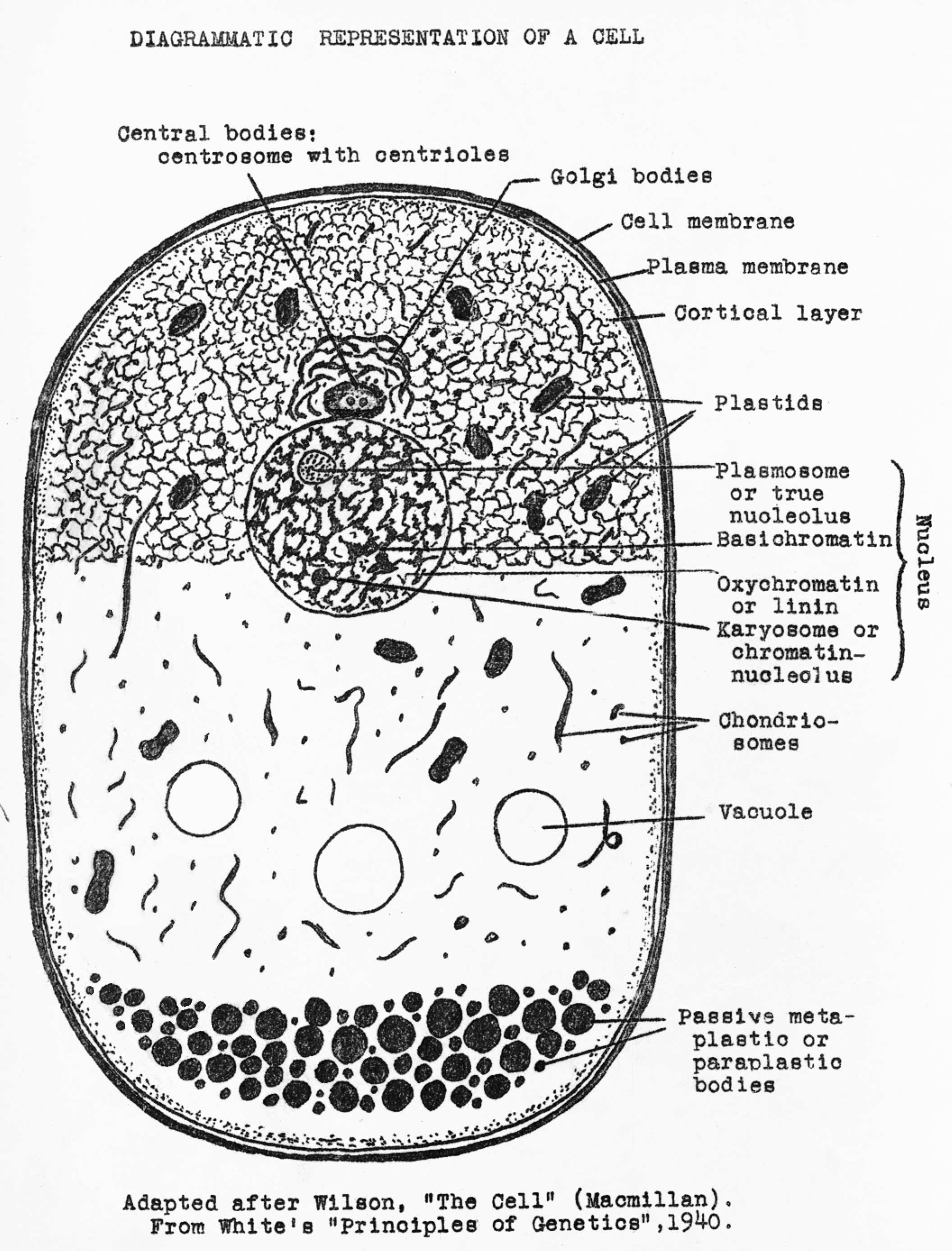 Human Organic