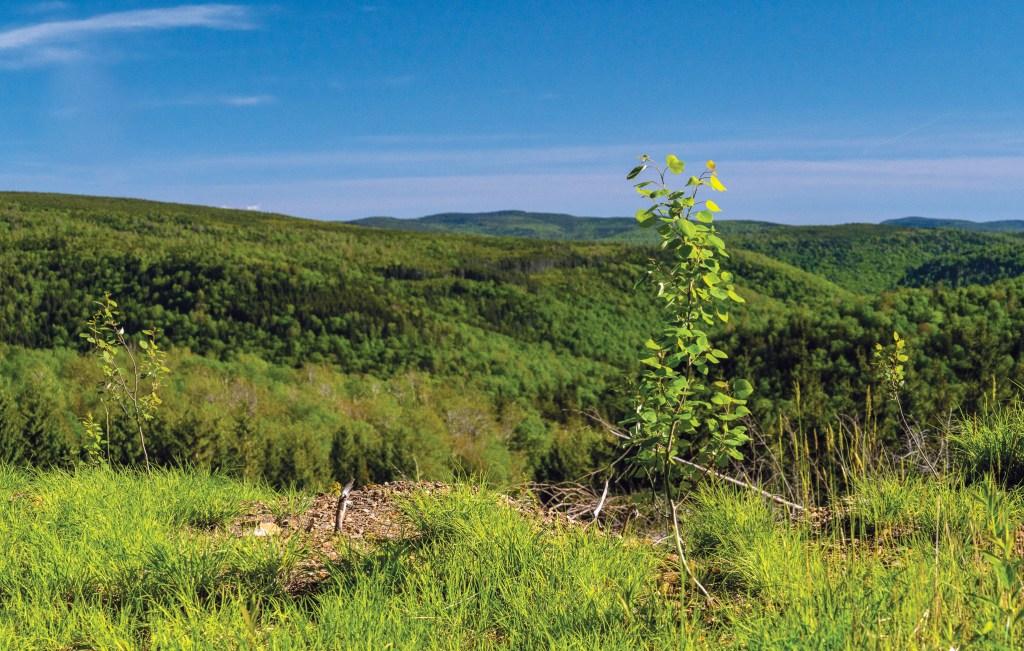 •Bigtooth aspen seedlings populate a restoration site
