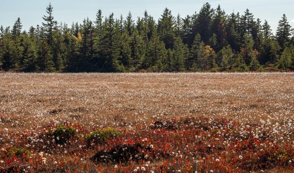 Bear Rocks: cotton grass bog