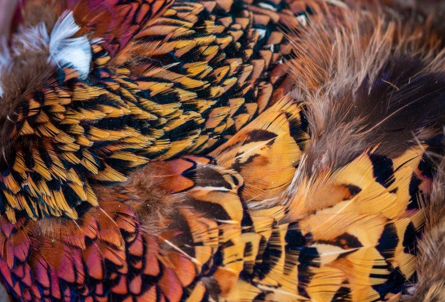 Fly Art - Golden Pheasant Pelt
