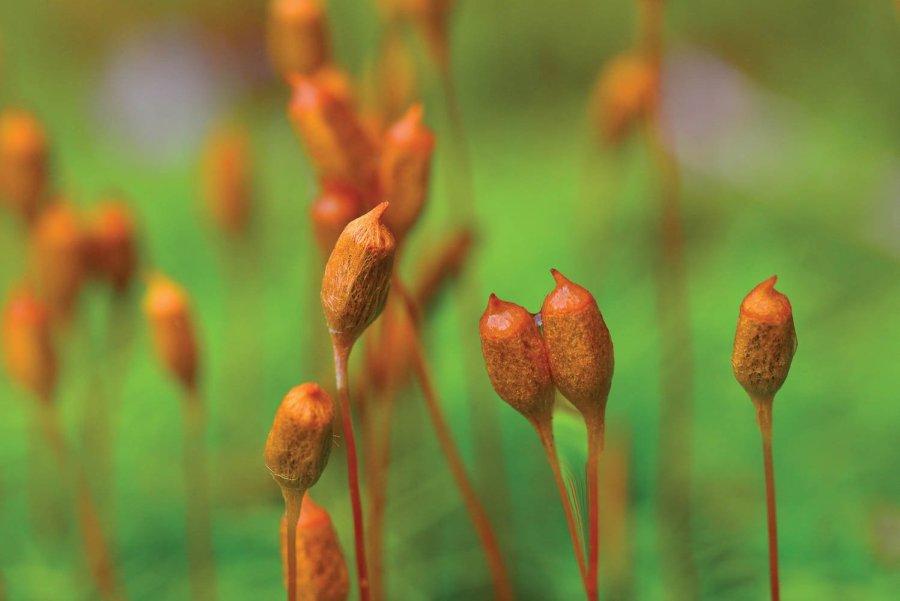 WV Mosses - Haircap moss capsules