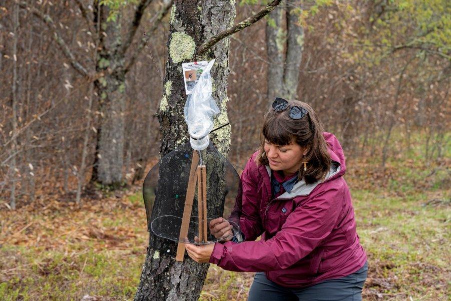 Kristen Wickert - Spotted Lanternfly Trap