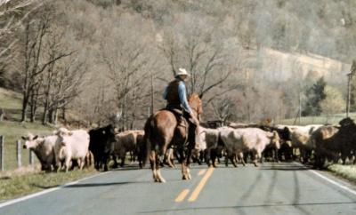 Highland County, Virginia, cattle, farm, farming, farmer, life, history, culture, cowboy