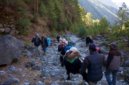 As we headed up the trail unladen Dzo trains headed back down the trail between Jorsalle and Namche Bazaar