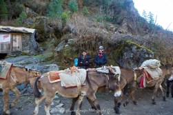 A donkey train heads down the trail between Phakding and Lukla.