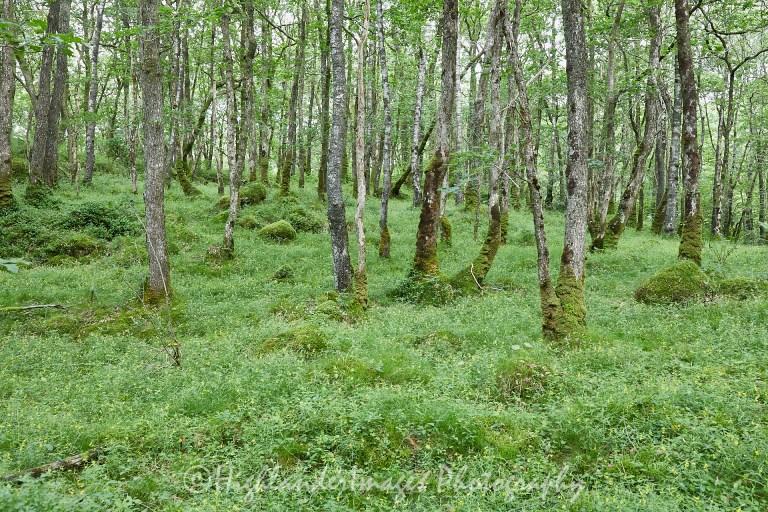 Wood of Cree