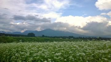 蕎麦畑から八ヶ岳を望んで