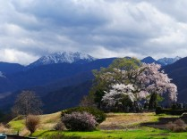 田端の枝垂桜1