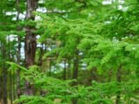 落葉松の緑