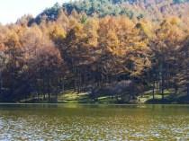 千代田湖畔の落葉松黄葉12