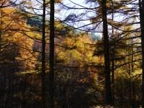 千代田湖畔の落葉松黄葉1