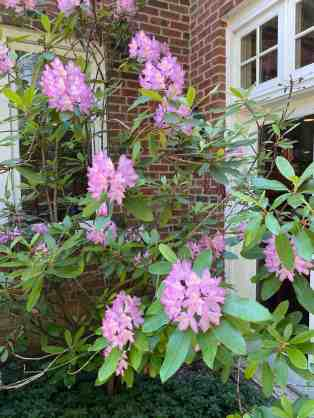 Azaleas add color and interest to your home. Image Isi of azaleas adjacent to windows of a brick home.