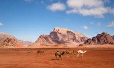 Camels in Wadi Rum, Jordan.