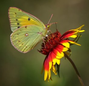 Gaillardia with Butterfly