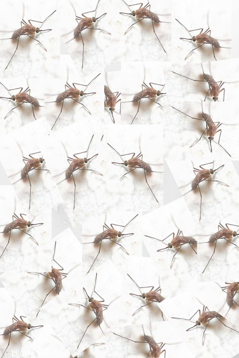 You are currently viewing Mosquitoes are a plague in the cold desert
