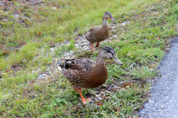 #FocusAlaska #wildlife ducks in the driveway