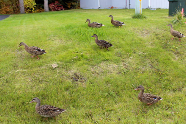 young ducks in the neighbourhood in #Alaska #FocusAlaska #wildlife