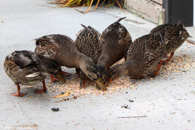 young ducks munching bird food