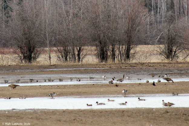 geese, and sandhill cranes munching seeds on the way back to their nesting regions