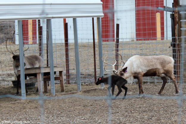 #travel Caribou baby at the UAF experimental farm