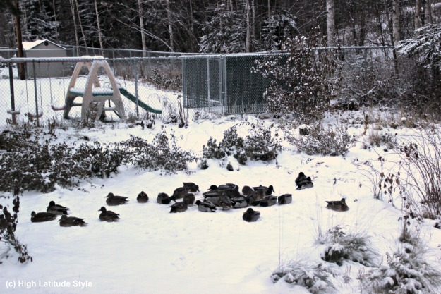 ducks overwintering in Alaska