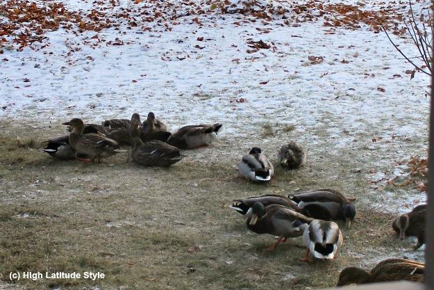 #Wildlife #Alaska ducks in a yard