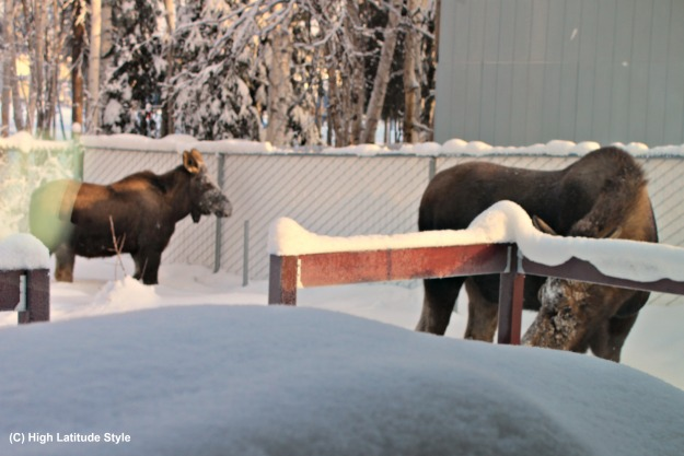Focus Alaska two moose in front of our deck