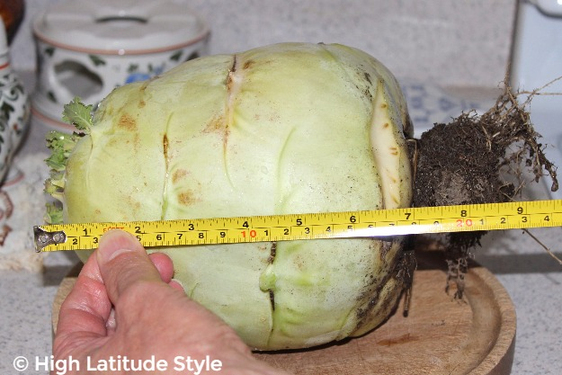 Alaska grown kohlrabi