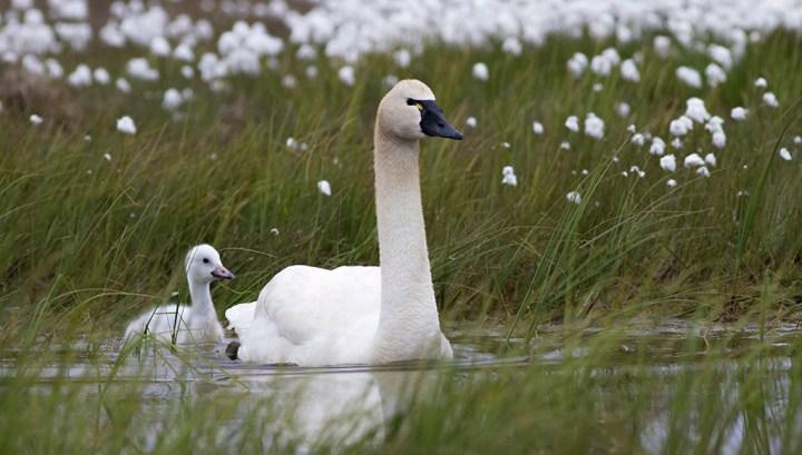 """Tundra Swan - Alaska"" by ZakPohlen"