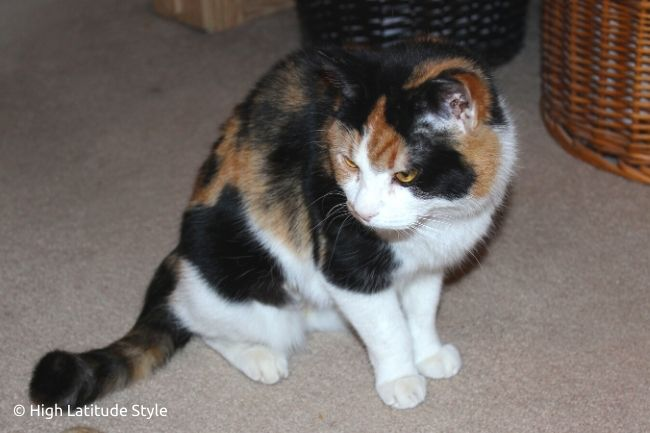 female white black red patched feline Isabella